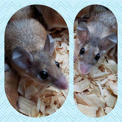 2 Spiny Mice Males Ready Now