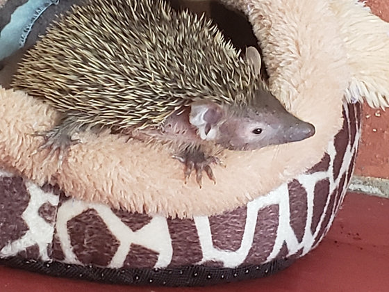 """Alvin"" male Lesser Hedgehog Tenrec- Ready Now"
