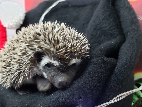 """""""Quake"""" female Ready after 12/11- badger- (PIF+cage kit2liners- S.Sullivan)"""