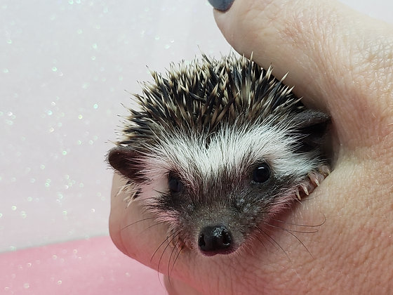 """""""Babs"""" female Ready after 4/19 (PIF E.Daniel)"""