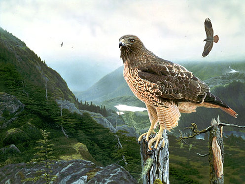 Excellent Mt. Red-Tails