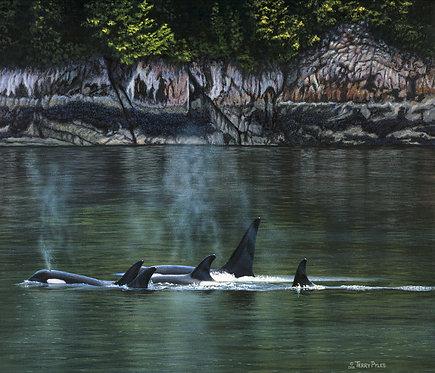 Orcas Near Rudyerd Bay
