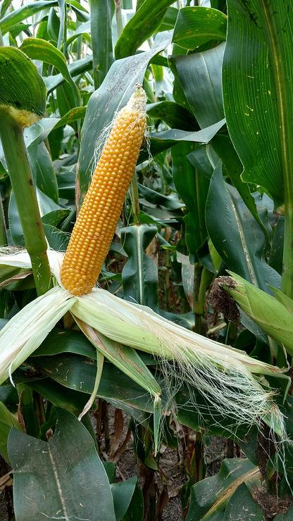 Popcorn ear.jpg