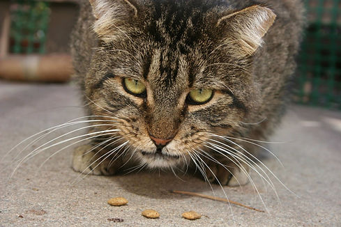 Morris-the-feral-cat-eating-food.jpg