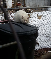 Feral cat on trash can