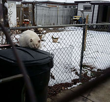 feral-cat-on-a-trash-can.jpg