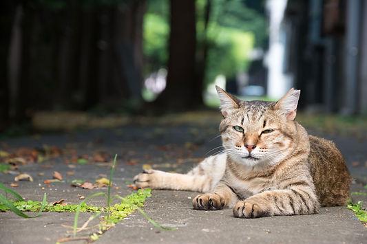 Feral Tabby Cat Resting in Yard