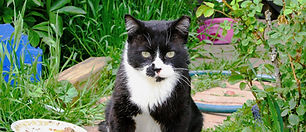 Feral-cat-outside-with-ear-tip.jpg
