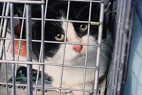 Feral cat in trap