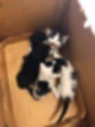 Kathy's_kittens_from_a_trapping_request_