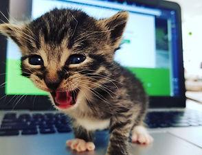 Kitten-on-laptop-meowing.jpg
