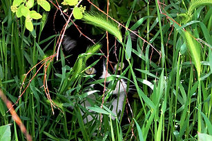Feral-cat-hiding-in-the-bushes.jpg