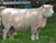 bouldacre ryelands, ryeland sheep