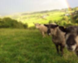 TurnAcre, Ryeland Wool Products, Bouldacre Ryelands, Roseacre Coloured, Ryeland sheep, Ryeland Fleece