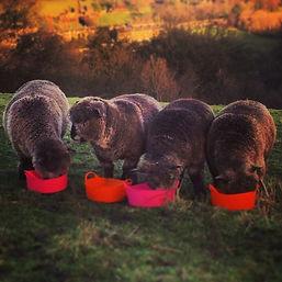 bouldacre ryelands, ryeland sheep, roseacre coloured ryelands