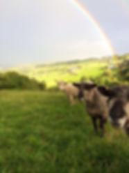 bouldacre ryelands, ryeland sheep