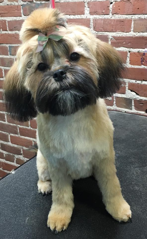 grooming shih mix
