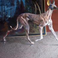 Anubis-Hund