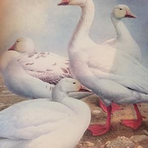 Snow Geese & Shamans