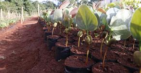 CRV Industrial tem viveiro com árvores nativas do Cerrado...
