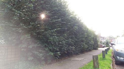 Hedge Before.jpg