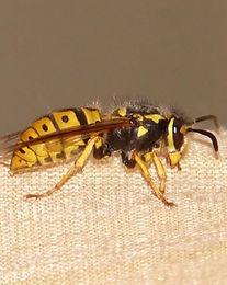Wasps.jpg