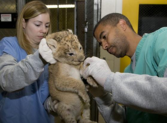 Craig Saffoe (right) examining a lion cub.