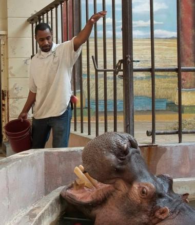 John Taylor feeds a hippopotamus.