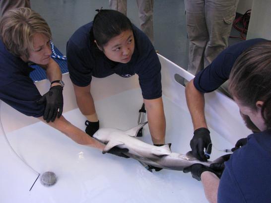 Jennie Janssen collecting blood from a blacktip reef shark.
