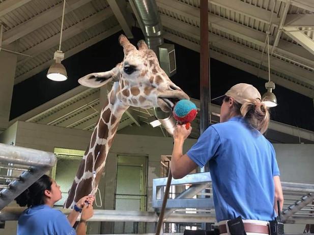 Brenda Cordova takes blood from a giraffe.