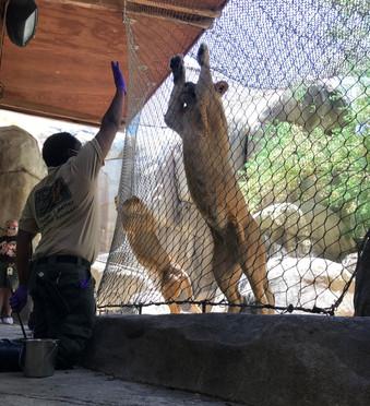 Moses Pierre-Louis trains a lion.