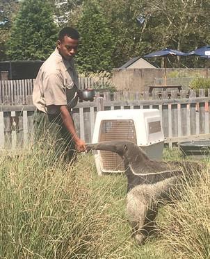 Hassan Bayyan feeding a Giant anteater.