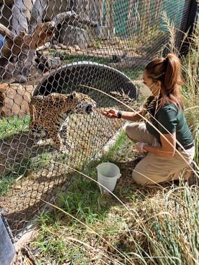 Toni Mosley feeds a jaguar.
