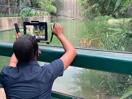 Leia Cook records video of tiger Berani for an educational video.