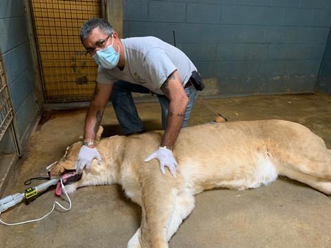 Craig Saffoe with an anesthetized lion.