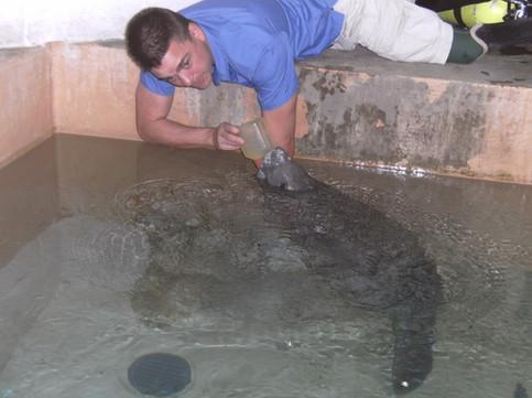 Ramon Villaverde feeding a manatee.