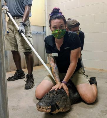 Rae Karpinski restrains an alligator.