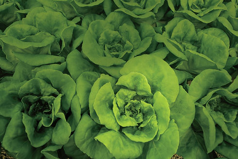 Hydroponic lettuce from Shelton Farms in Whittier North Carolina