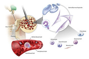 The role of bone marrow in animals