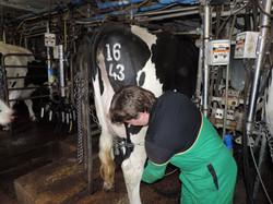 Jason Britton milking