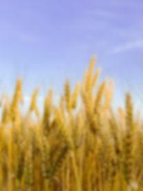 brown-wheat-field-under-blue-sky-3930616