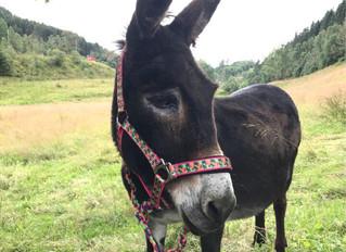Meet Our...Donkey! Meet Teline!