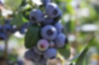 MDFoTs Free Blueberry Photo.jpg