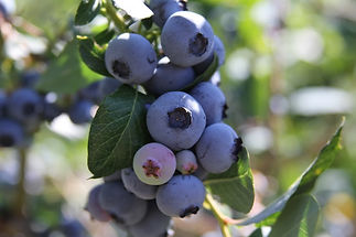 MDFoTs Free Blueberry Photo.jpg