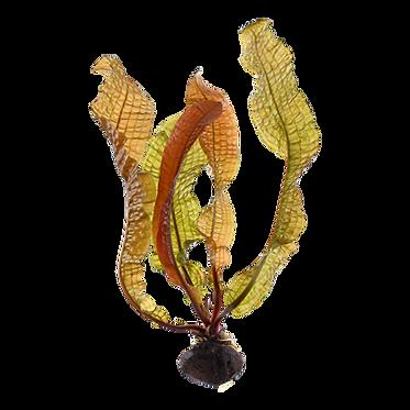 Aponogeton boivinianus