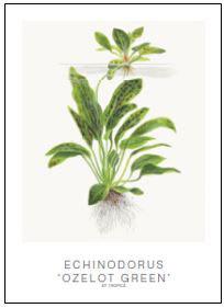 "Tropica Art Card Set ""Echinodorus Ozelot"""