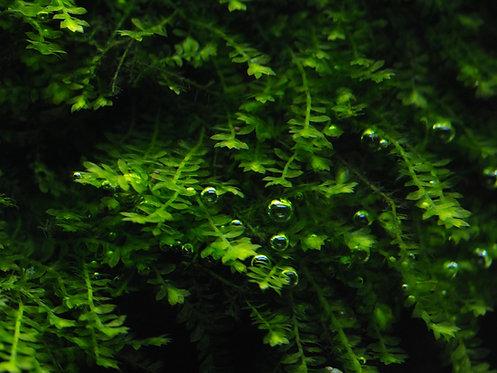 Pilotrichaceae sp. - Pilo Moos