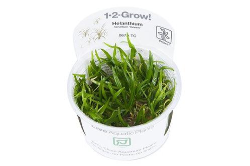"Helanthium tenellum ""Green"""
