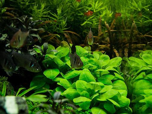 """Lobelia cardinalis """"mini"""""""