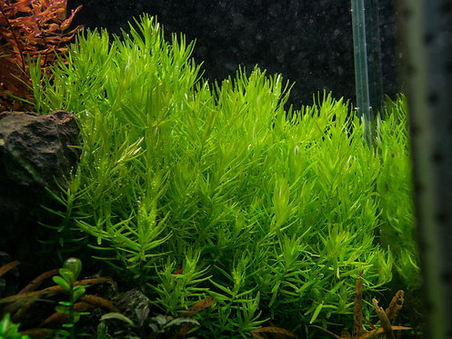 """Rotala sp.""""Green"""""""